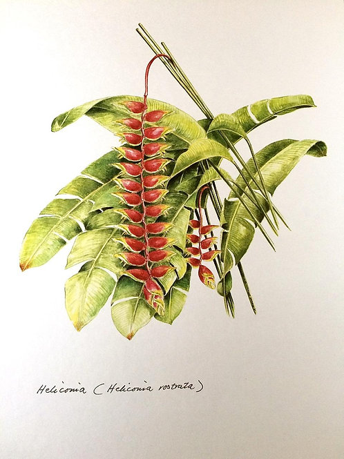 Red Flowers of Malaysia: 1.Heliconia Rostrata