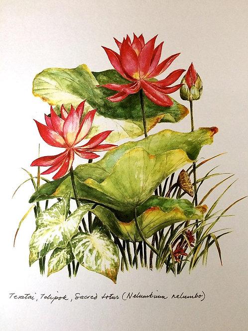 Red Flowers of Malaysia: 7. Nelumbium Nelumbo, Sacred Lotus Flower