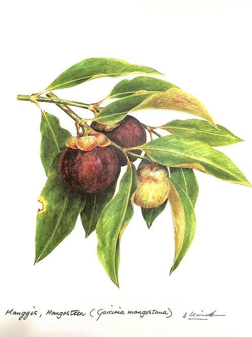 Malaysian Fruits: 3.Garciana Mangostana, Mangosteen Fruit