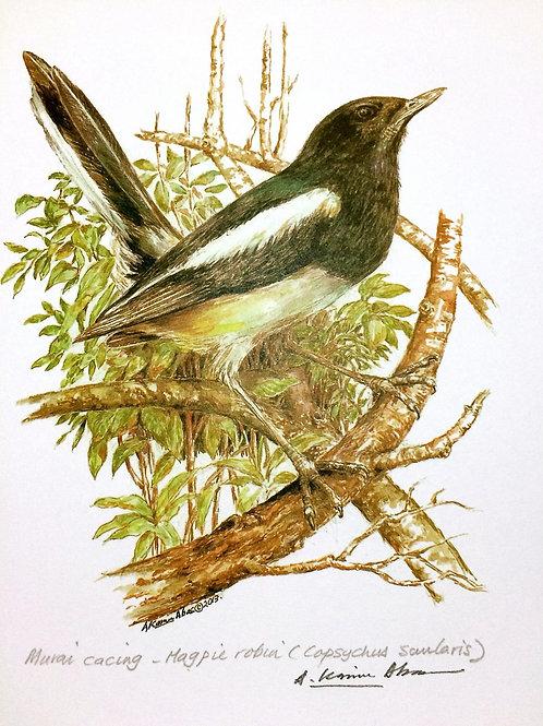 Birds of Malaysia: 4.Copsychus Saularis / Common Magpie / Murai Cacing