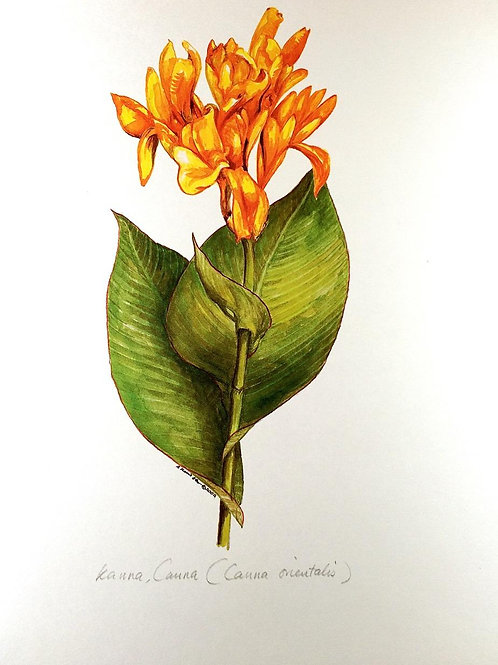 Yellow Flowers Of Malaysia : 2.Canna Flower