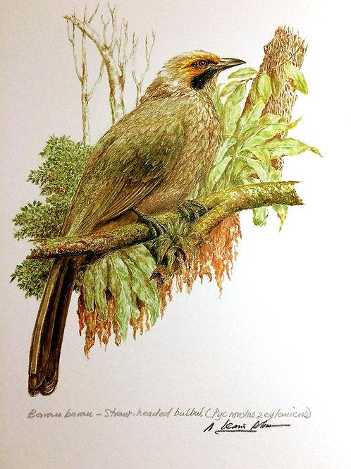 Birds of Malaysia: 3.Pycnonotus Zeylanicus / Straw Headed Bulbul / Bebarau