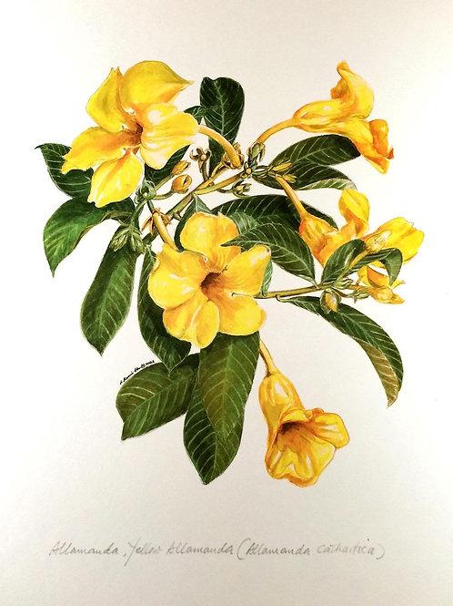Yellow Flowers Of Malaysia : 3.Alamanda Flower