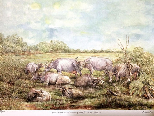 Sceneries of Malacca : Buffaloes at Watering Hole