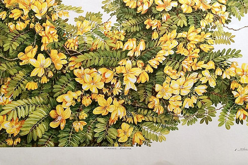 Full Flower Series : 2.Cassia Siamea , Scrambled Egg