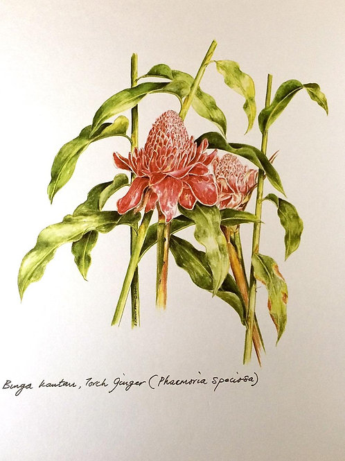 Red Flowers of Malaysia: 4.Phaeomeria Speciosa, Torch Ginger Flower