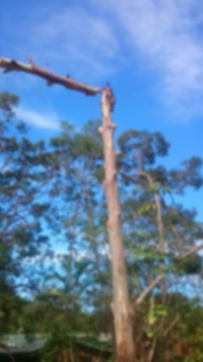 Tree Lopper Brisbane picture of tree lopping cutting down large trees
