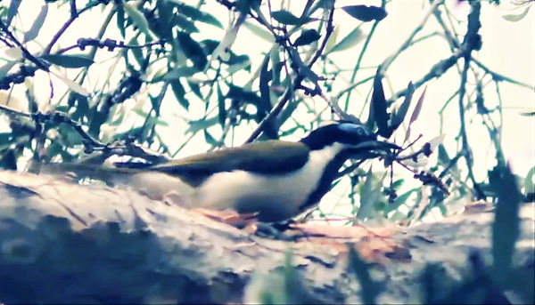 Australian blue-faced honey eater from m