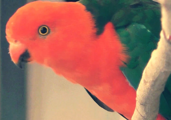 King Parrot in Australian Music Video