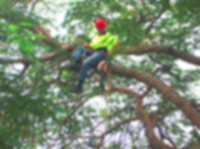 senior arborist Paul Ash Brisbane tree services company work