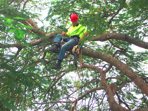 senior arborist Paul Ash Brisbane tree services company work