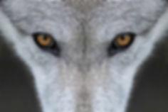 wolf 1.jpeg