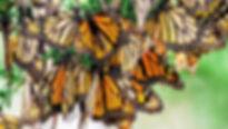 monarch butterflies.jpg