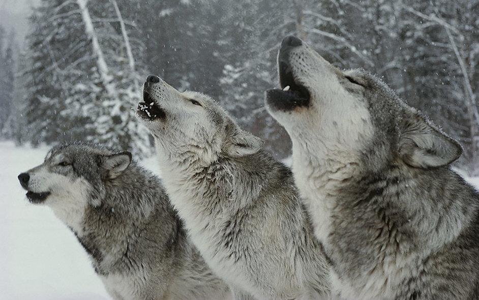 wolves howling.jpg