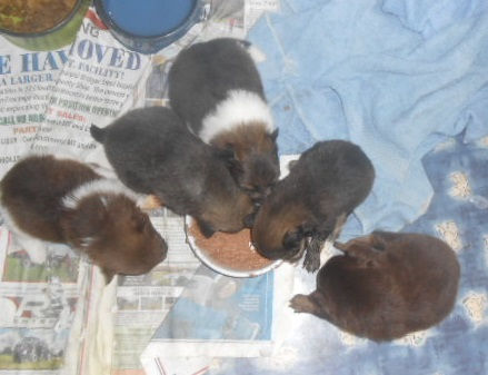 Tequilla-5-Pups-1stSolidFood-8-17-20.jpg