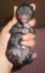 Tequilla-BlkTan-F-Belly-wet-3-25-19.jpg