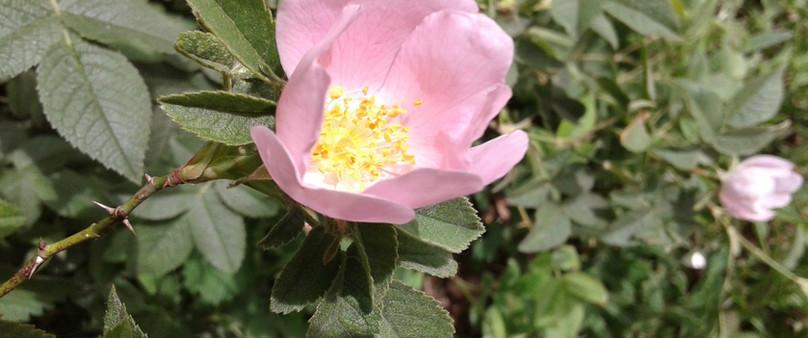 Rose Astréomia Meilland