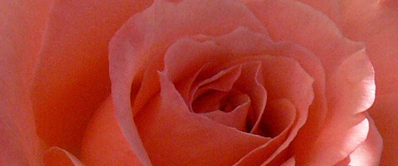 Rose L. De Funes Meilland