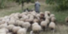 shepherd-sheep1.jpg