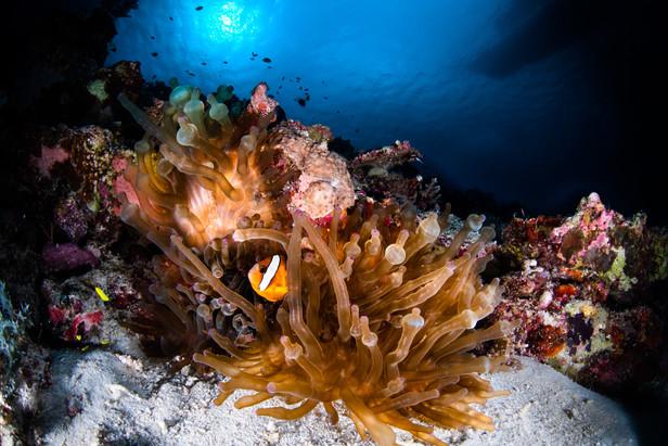 Sulawesi false clown fish