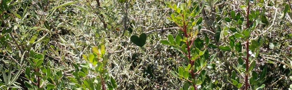 Heart shaped leaf on a 'Crown of Thorns' bush.