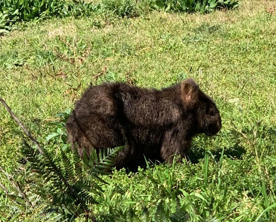 A resident wombat on Wollombi Farm