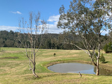Kangaroo by the dam on Wollombi Farm