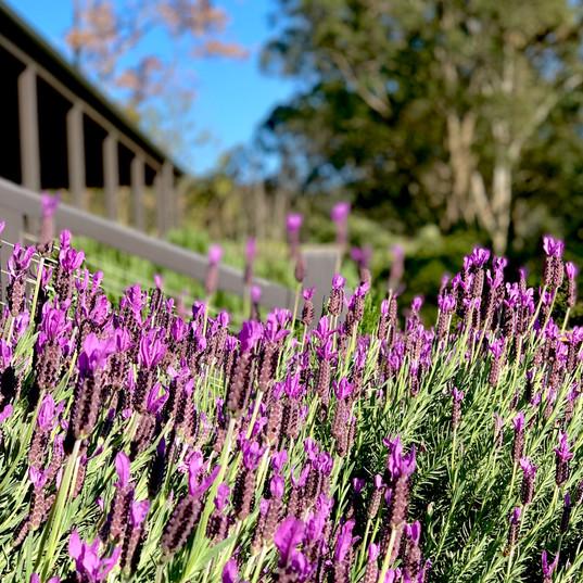 Wollombi Farm lavender