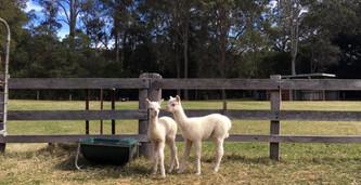 Little Valley Farm alpacas