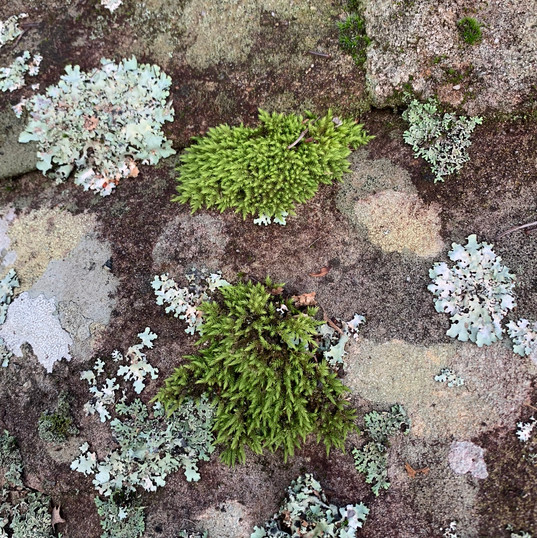 Lichen, moss & Australian bush rock