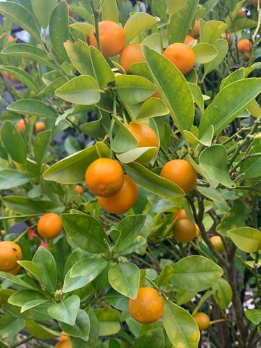 Oranges, cumquats and lemons in the garden