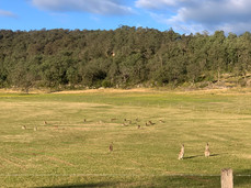 Roos galore in the Wollombi Valley
