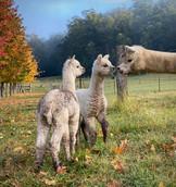 Alpacas at Little Valley Farm
