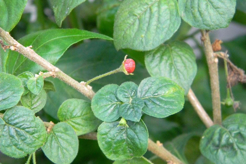 Capsicum Rhomboideum