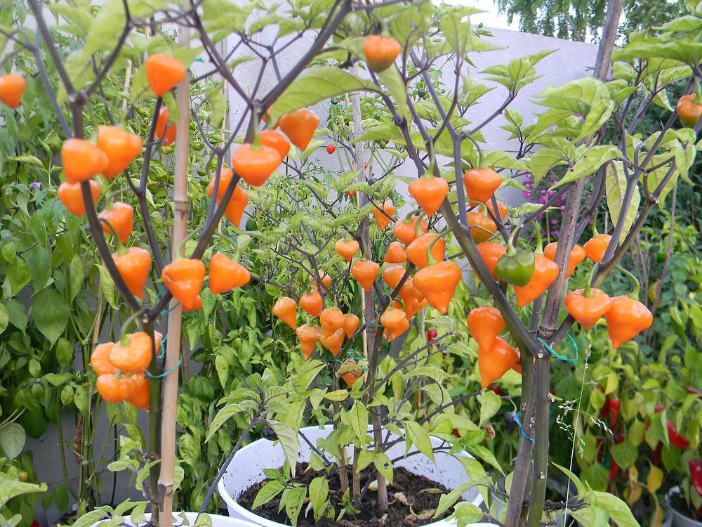Capsicum Chinense cv.Orange Lantern
