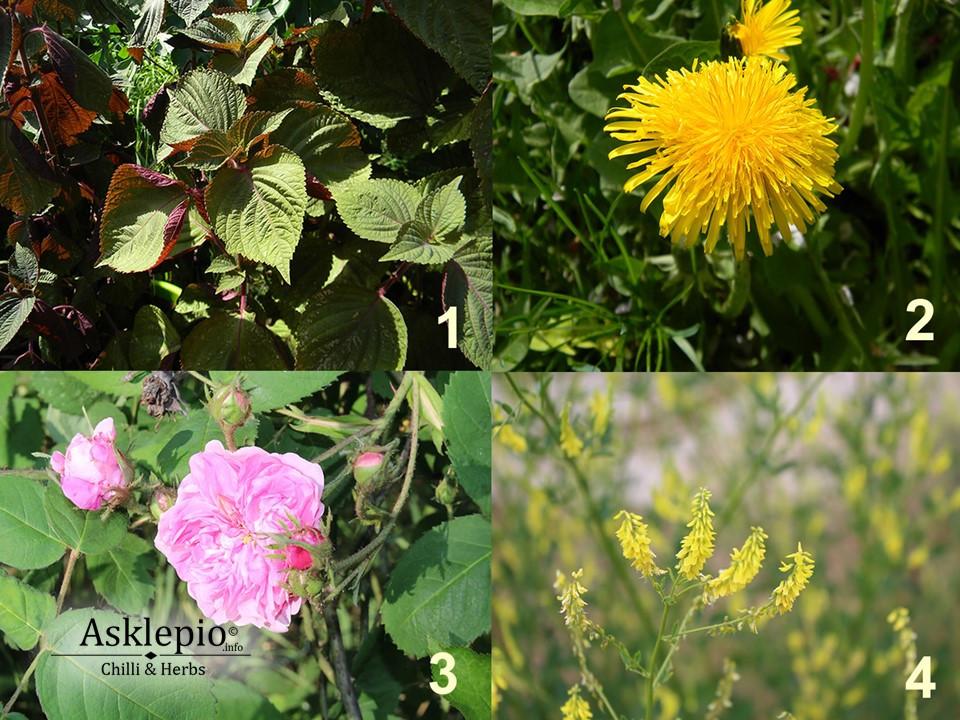 Perilla, dandelion, Rosa (centifolia), Yellow sweet clover