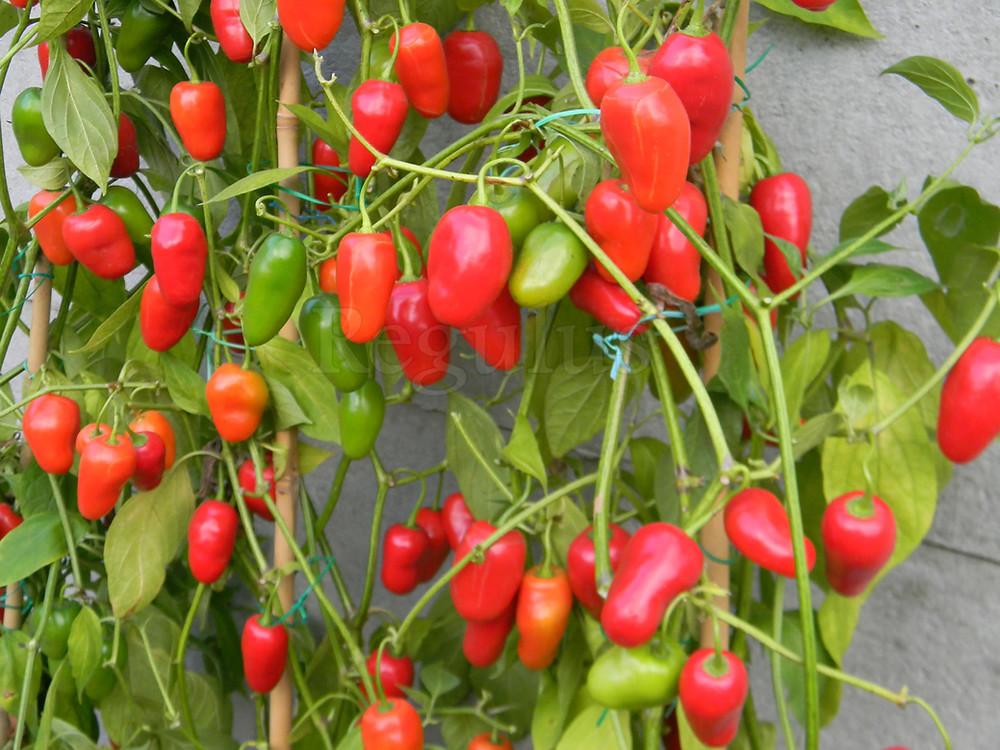 Rocoto Ecuadorian Red