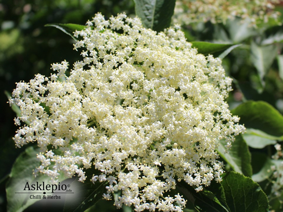 bloom of black Elderflower