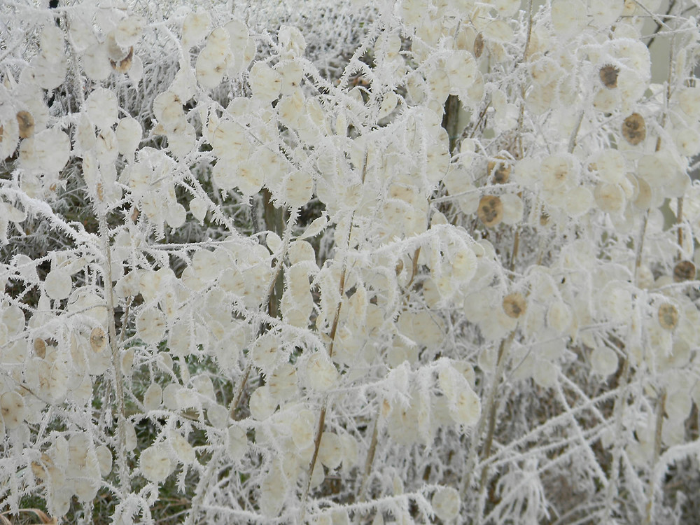 Měsíčnice roční (Lunnaria annua)