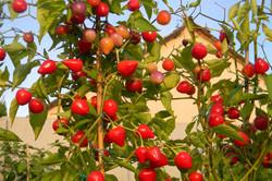 Pimenta Barro Do Ribeiro