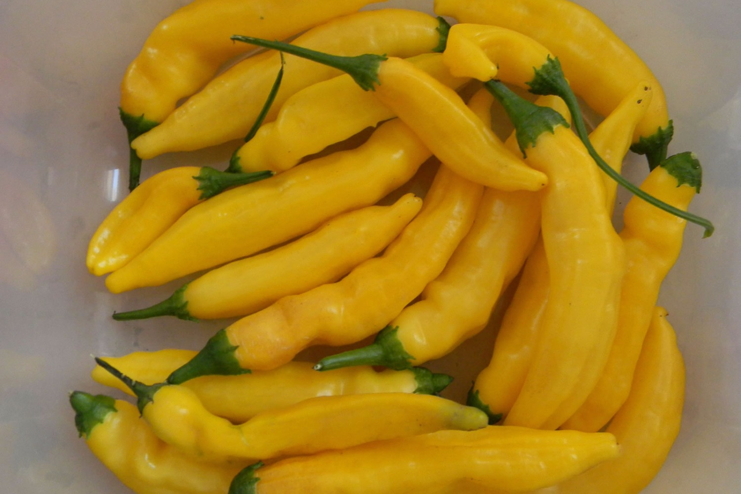 Aji Lemon Drop (PI 315024)