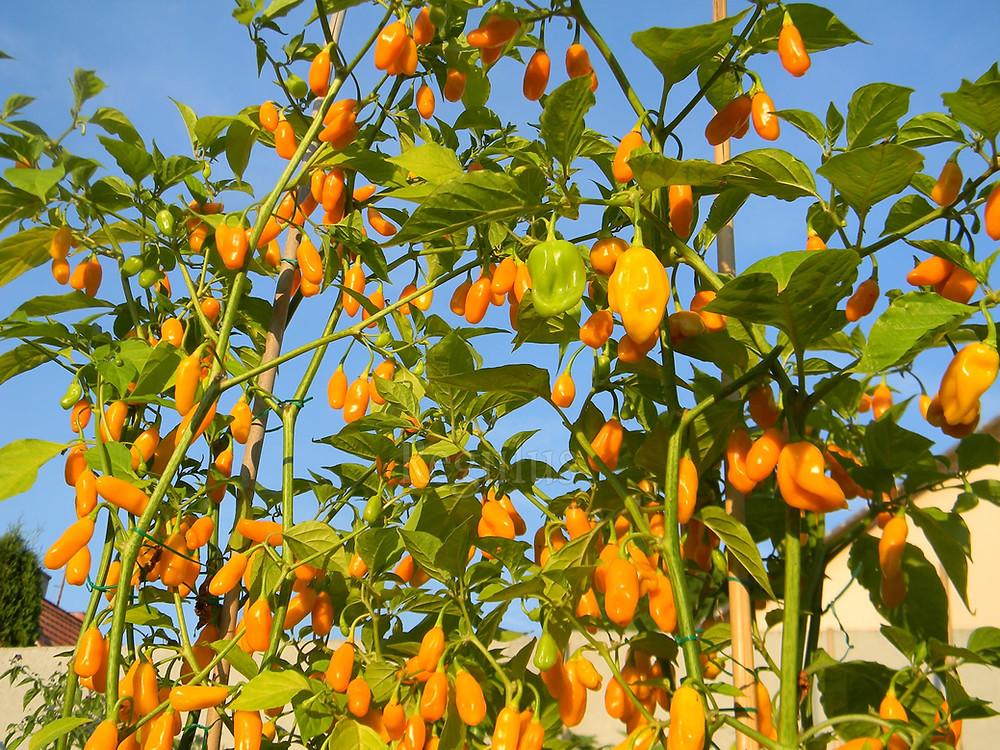 Capsicum Chinense cv.Bhut Jolokia Yellow