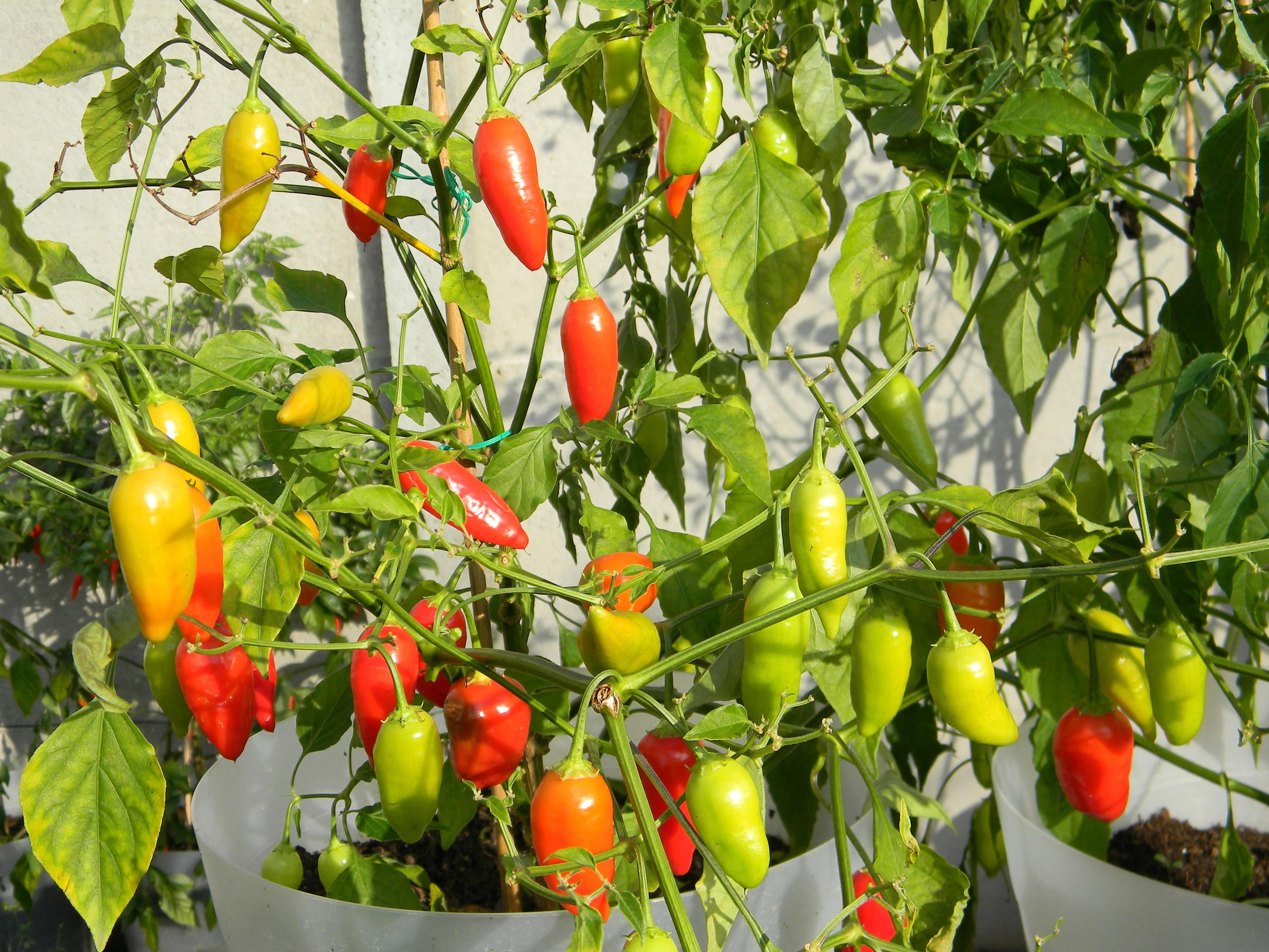 Asklepio capsicum chilli papričky