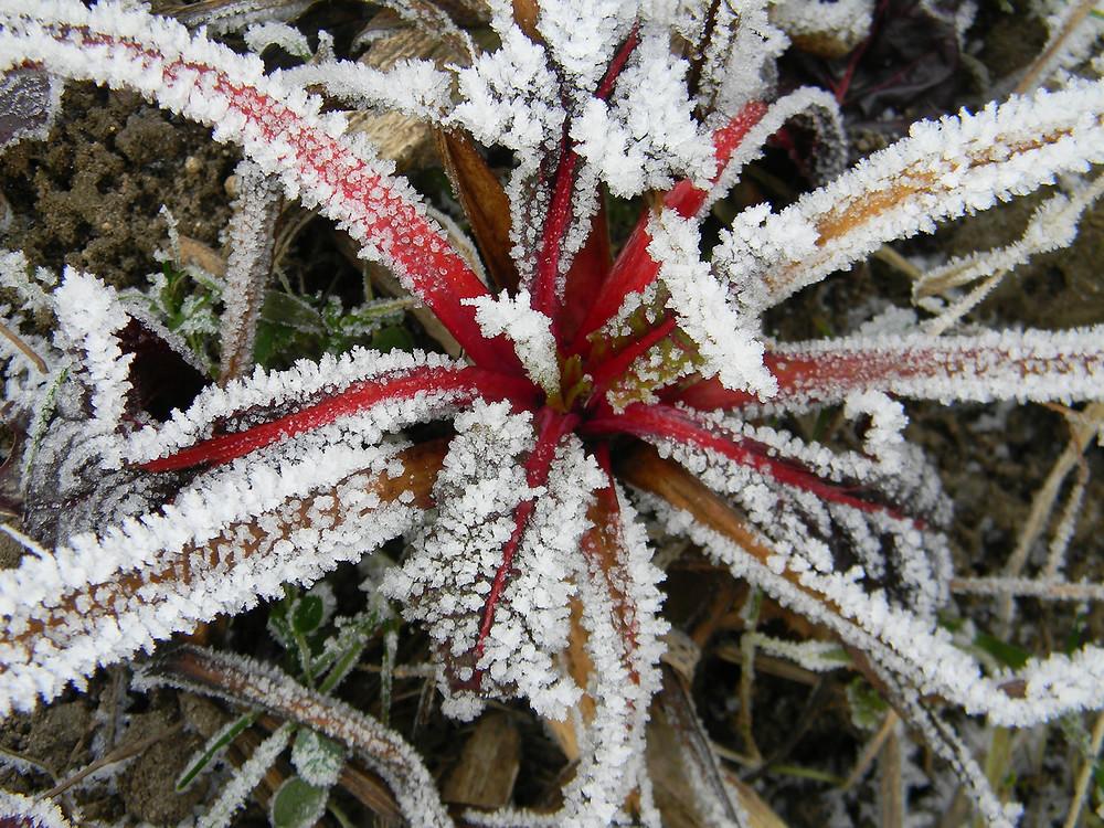 Mangold  (Beta vulgaris subsp. Cicla)
