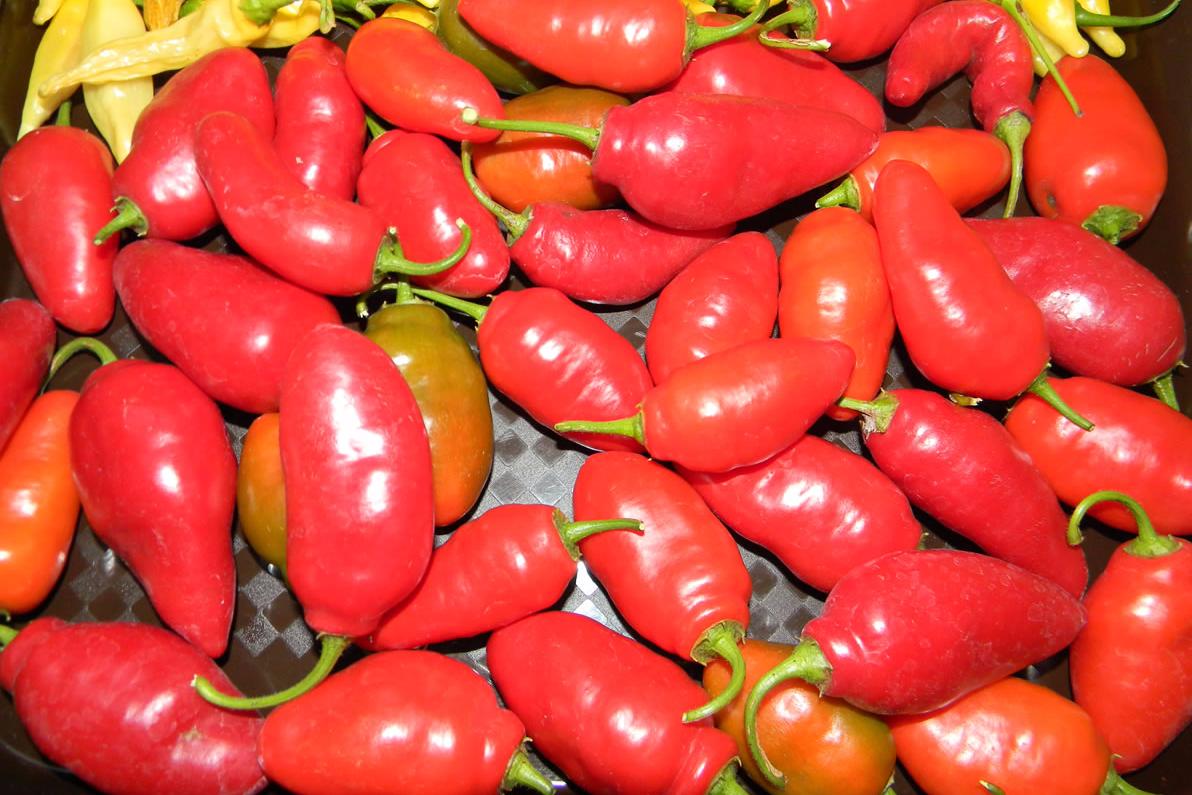 Rocoto Costarican Red (GRIF 9345)