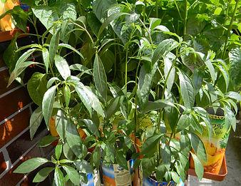 Capsicum Lanecolatum