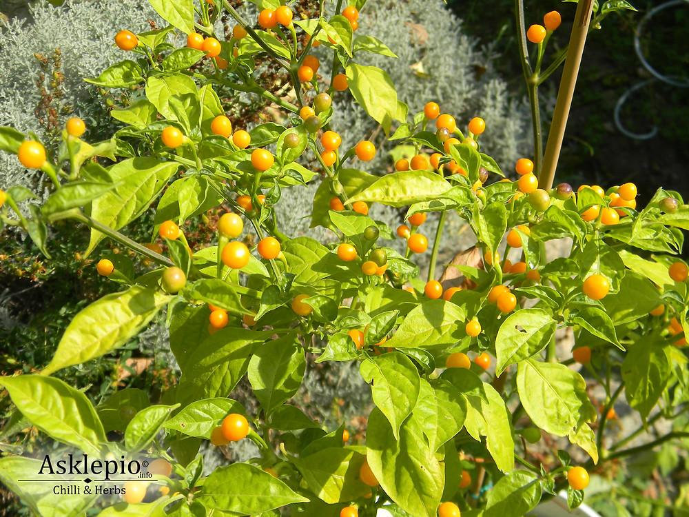 Capsicum chinensis cv.Aji Charapita