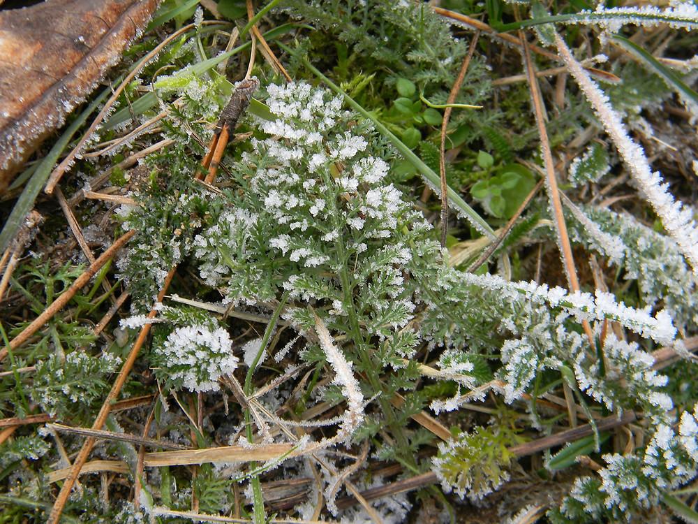 Řebříček lékařský (Achillea millefolium)