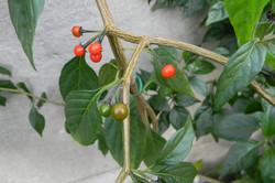 Capsicum Eximium