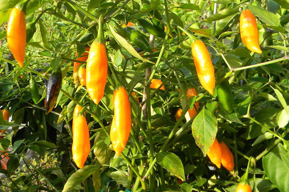Aji Lemon Drop Orange